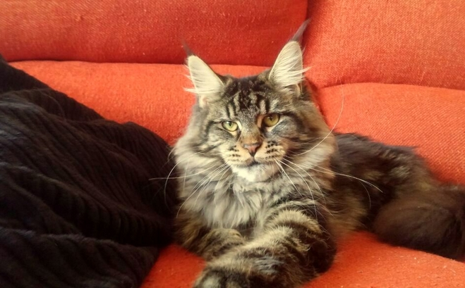 Gatos Maine Coons