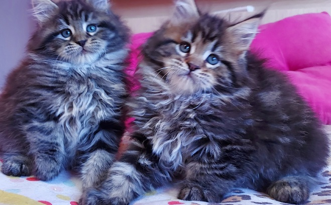 Gatos Maine Coons
